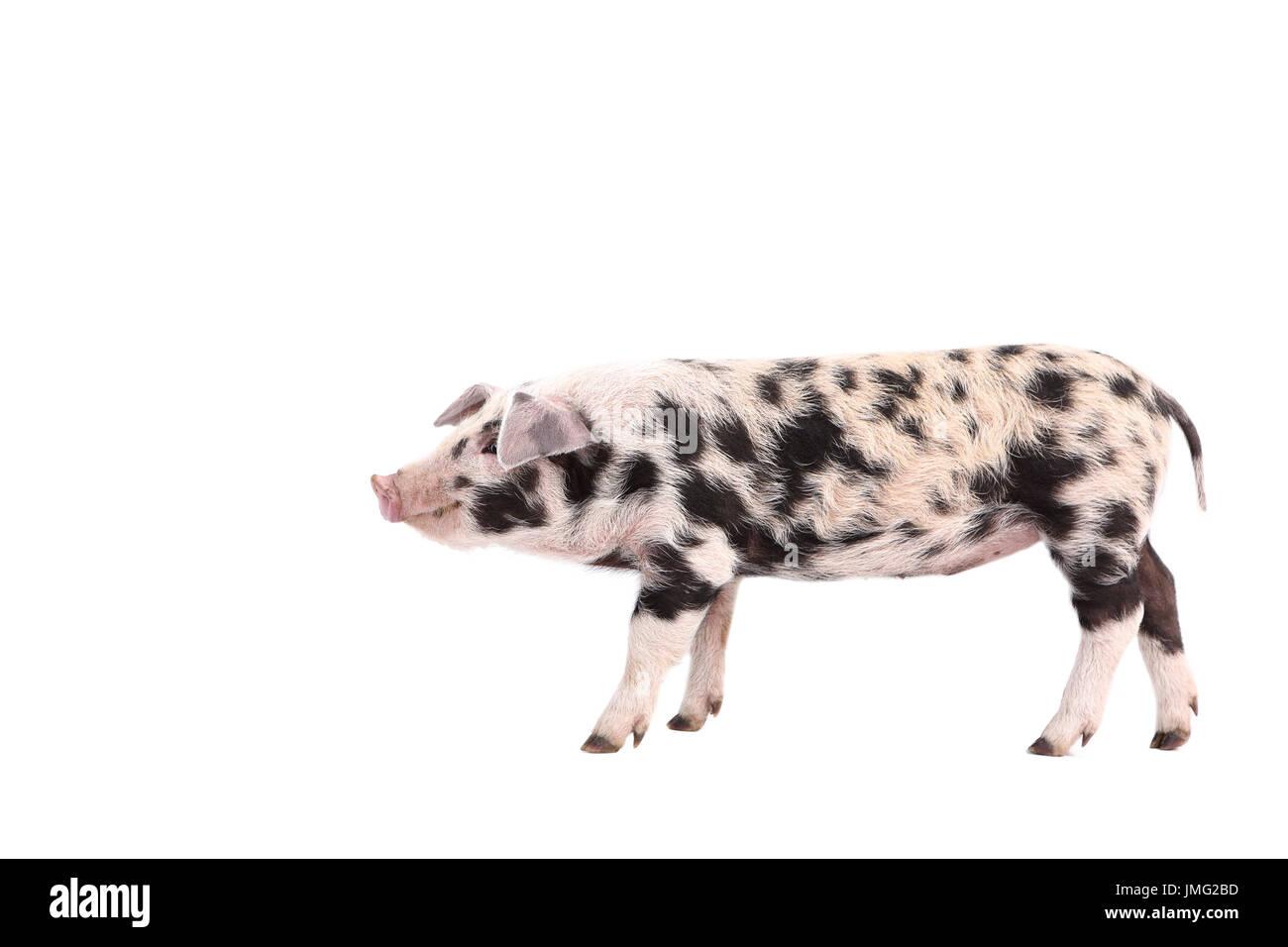 Schön Schwein Zähne Anatomie Fotos - Anatomie Von Menschlichen ...