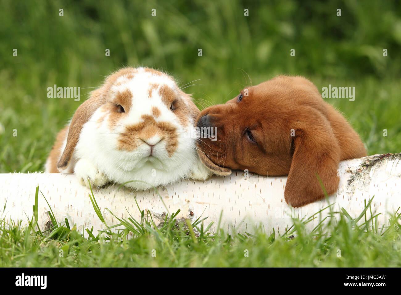 Labrador Retriever und Zwerg hängeohrigen Hase. Welpen (6 Wochen alt) schnüffeln an Kaninchen, liegend auf einem Baumstamm Birke. Deutschland Stockbild