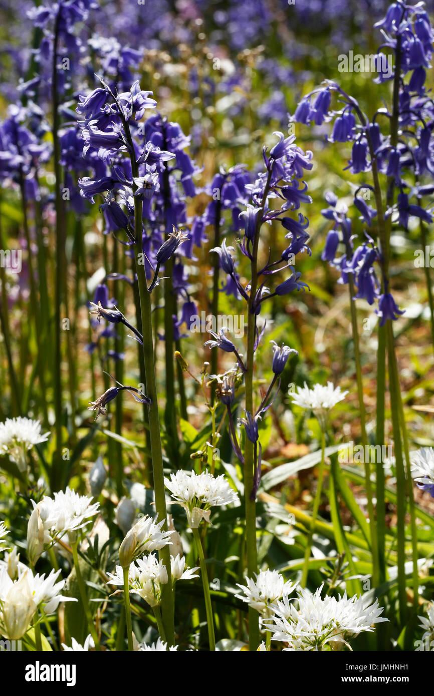 Glockenblumen und Bärlauch wächst harmonisch im Wald. Stockbild