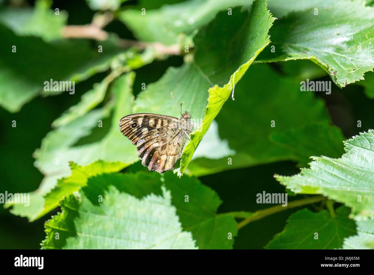 Gesprenkelte Holz (Pararge Aegeria) Schmetterling. Unterseite der Imago. Stockbild