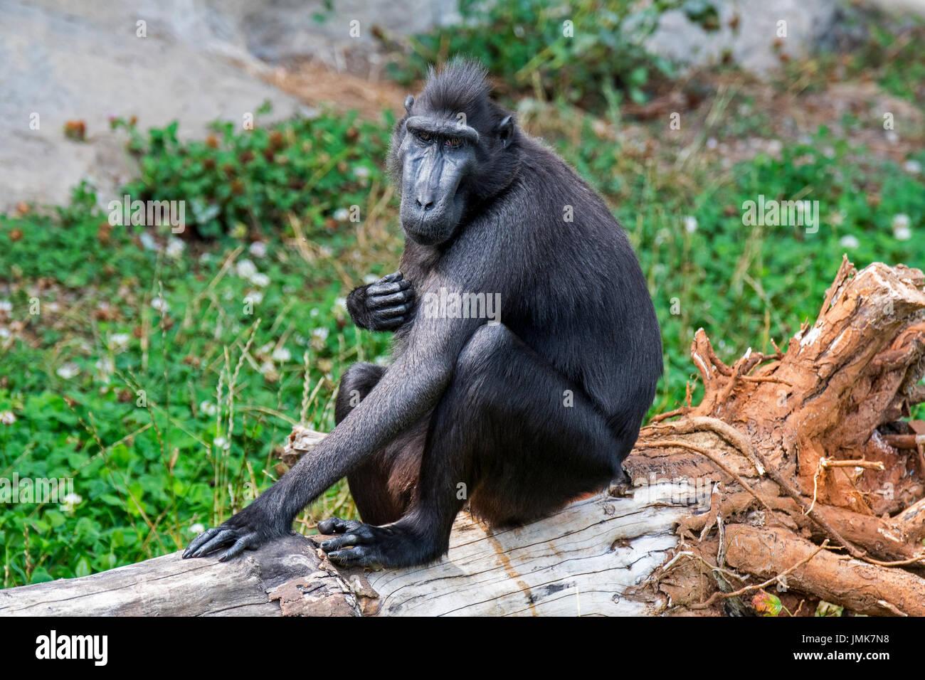 Celebes crested Macaque / crested schwarz Makaken / Sulawesi crested Macaque / schwarze Affen (Macaca Nigra) in der indonesischen Insel Sulawesi heimisch Stockbild