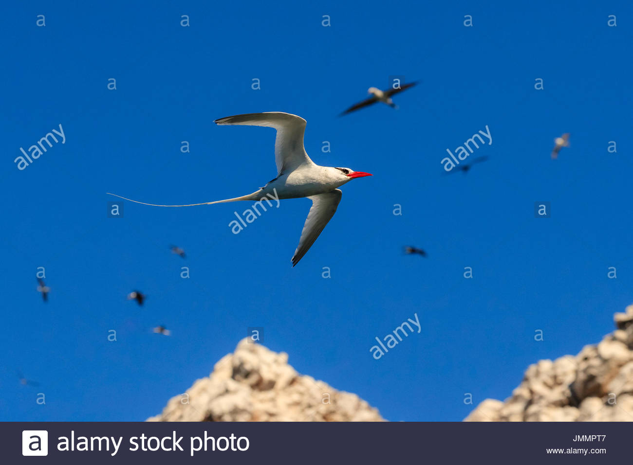 Red-billed tropic Bird, Phaethon aethereus, im Flug bei San Pedro Martir Insel. Stockbild
