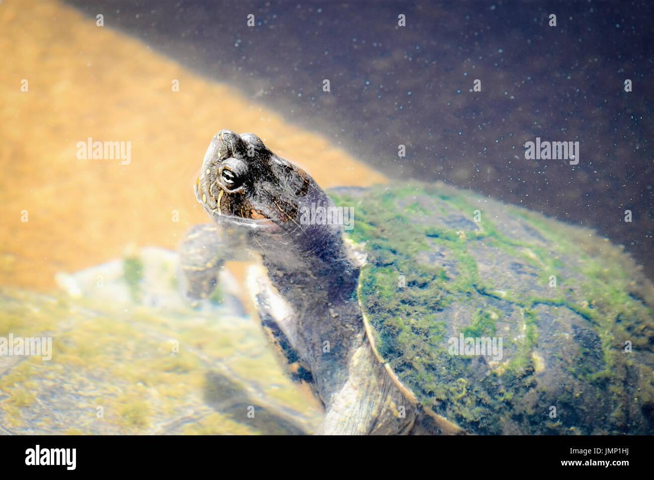 Nahaufnahme einer Schildkröte mit dem Kopf aus dem Wasser Stockbild