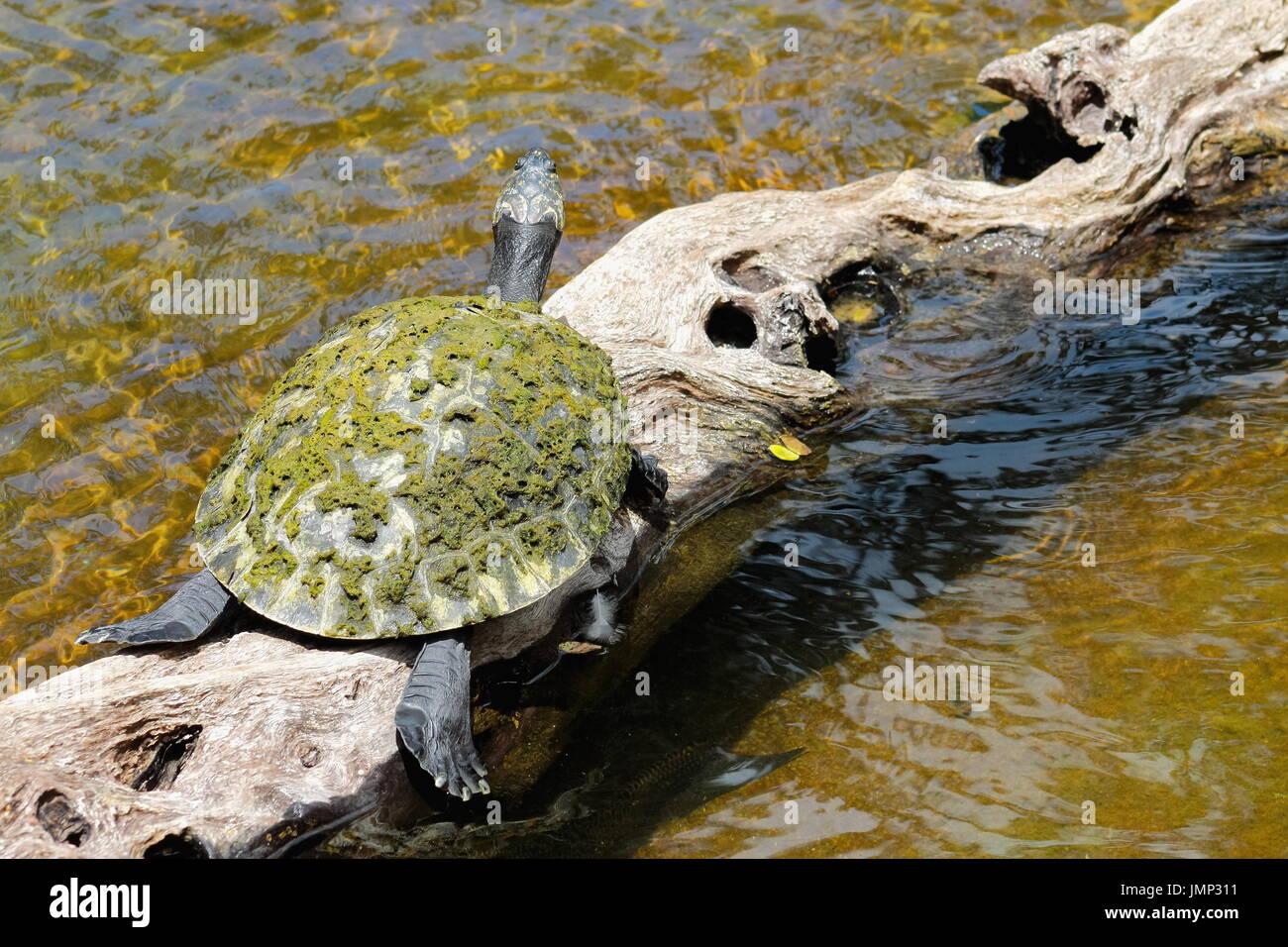 Gelb gefleckten Amazon Schildkröte - Podocnemis unifilis Stockbild