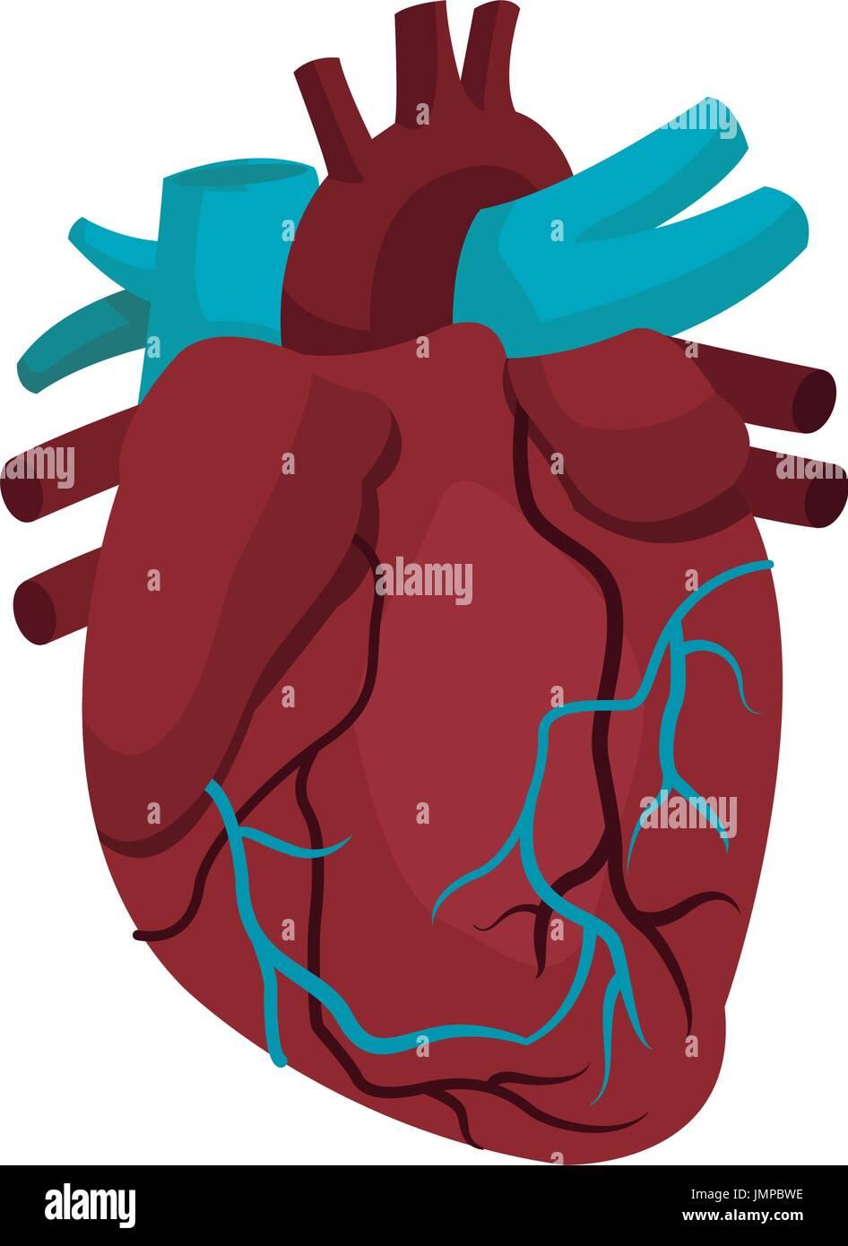 Anatomie des menschlichen Herzens medizinische illustration Vektor ...