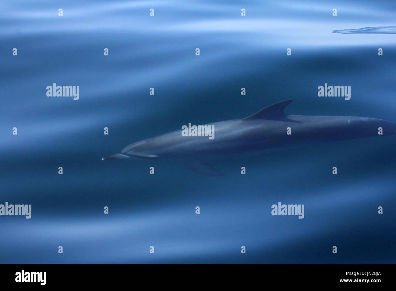 Atlantischer Fleckendelfin (stenella frontalis) auftauchen neben dem Boot mit einem gläsernen Meer Stockbild