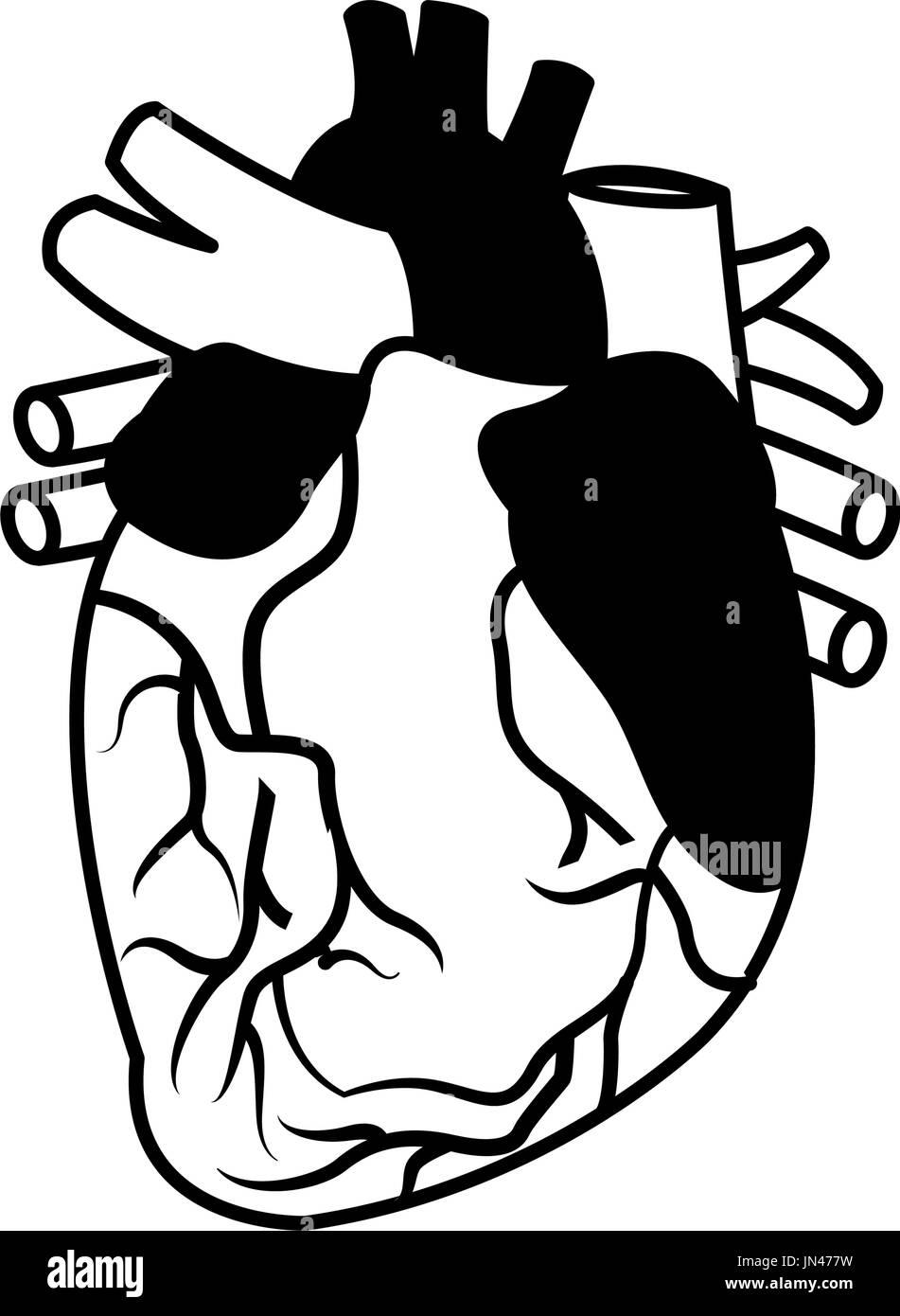 Anatomie des menschlichen Herzens medizinische Vektor Abbildung ...
