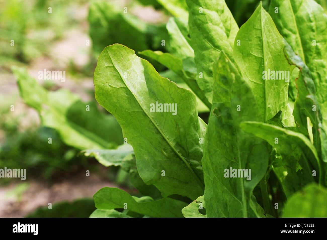 Ganz und zu Extrem Sauerampfer Pflanzen Stockfotos & Sauerampfer Pflanzen Bilder - Alamy @BB_33