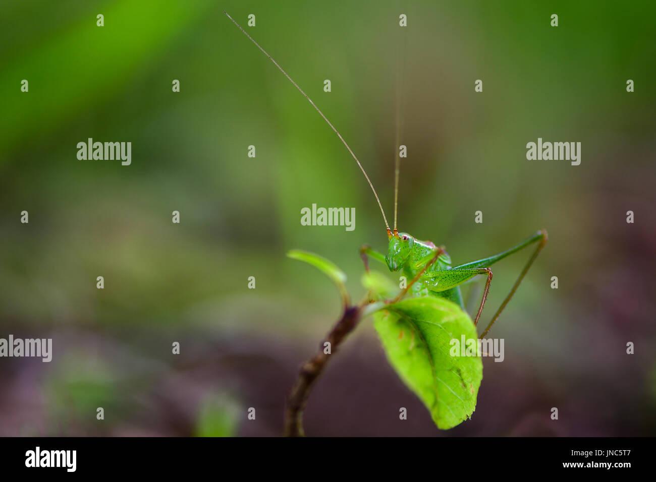 Gefleckt, Bush-Cricket (Leptophyes Punctatissima) putzen. Erwachsene männliche Insekt in der Familie Tettigoniidae, Orthopteren bestellen Stockbild