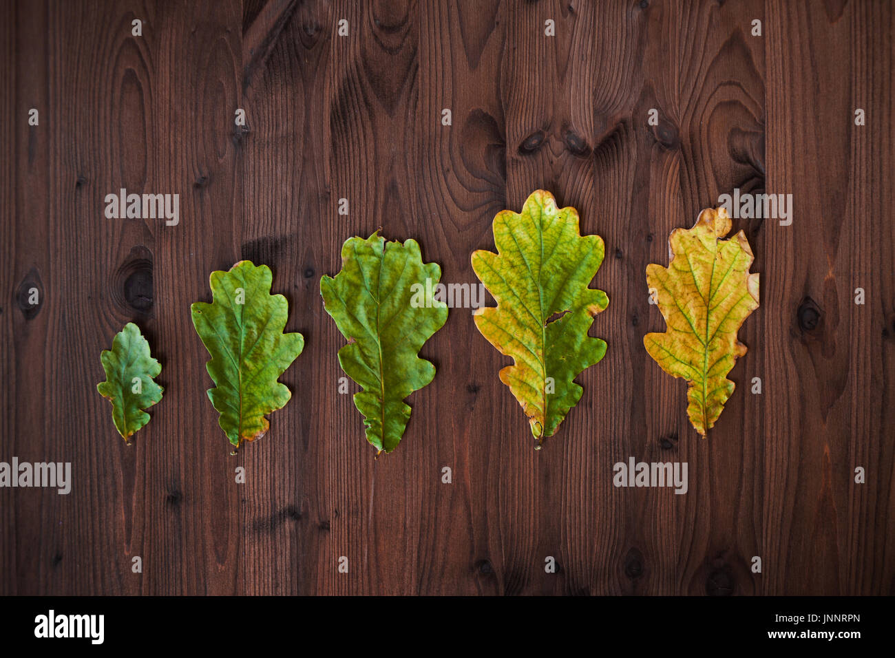 Linie der Eiche Blätter in verschiedenen Stadien des Alterns. Schöne Eiche Blätter auf hölzernen Hintergrund Stockbild