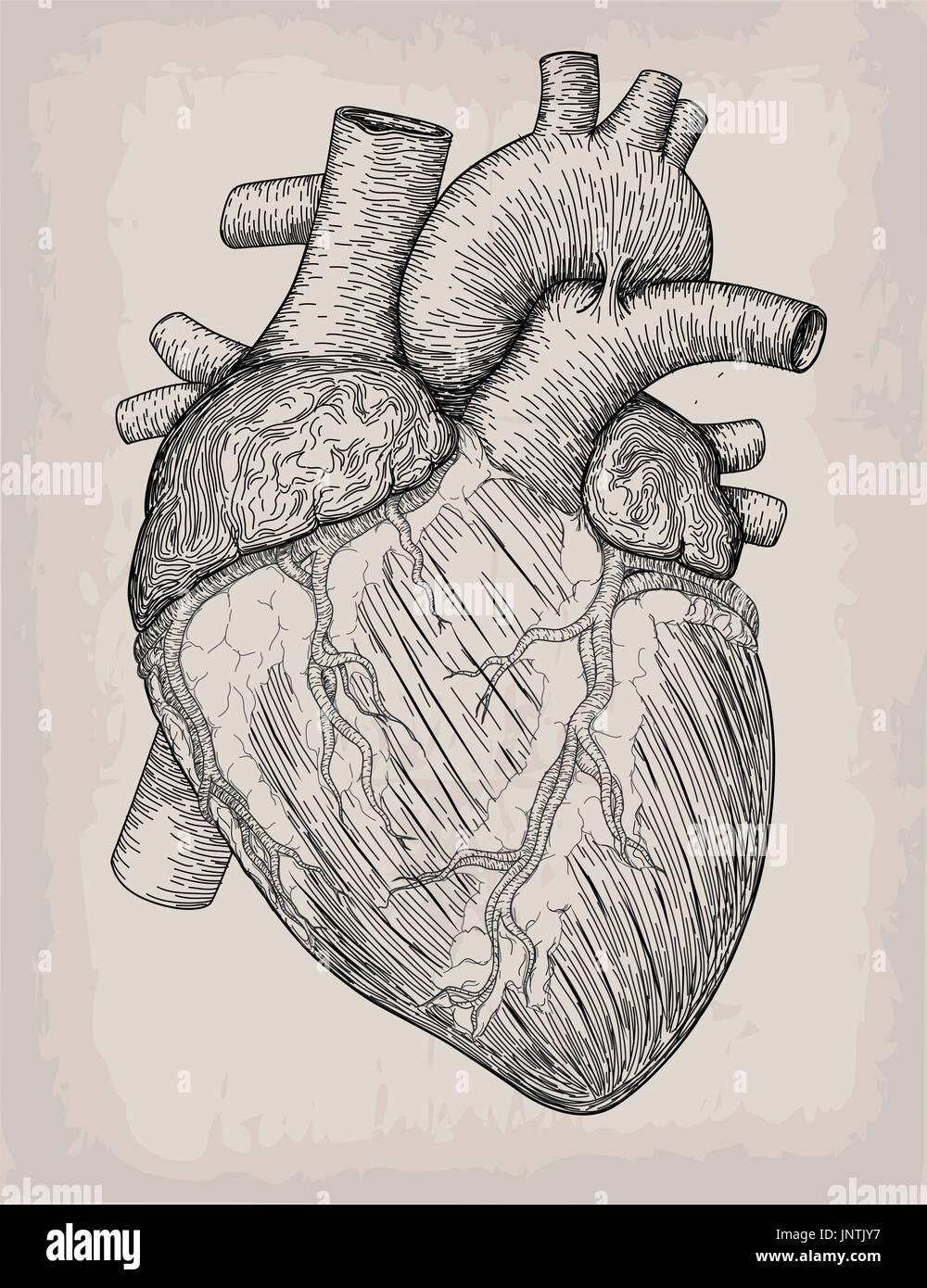 Menschliches Herzhand gezeichnet. Anatomische Skizze. Medizin ...