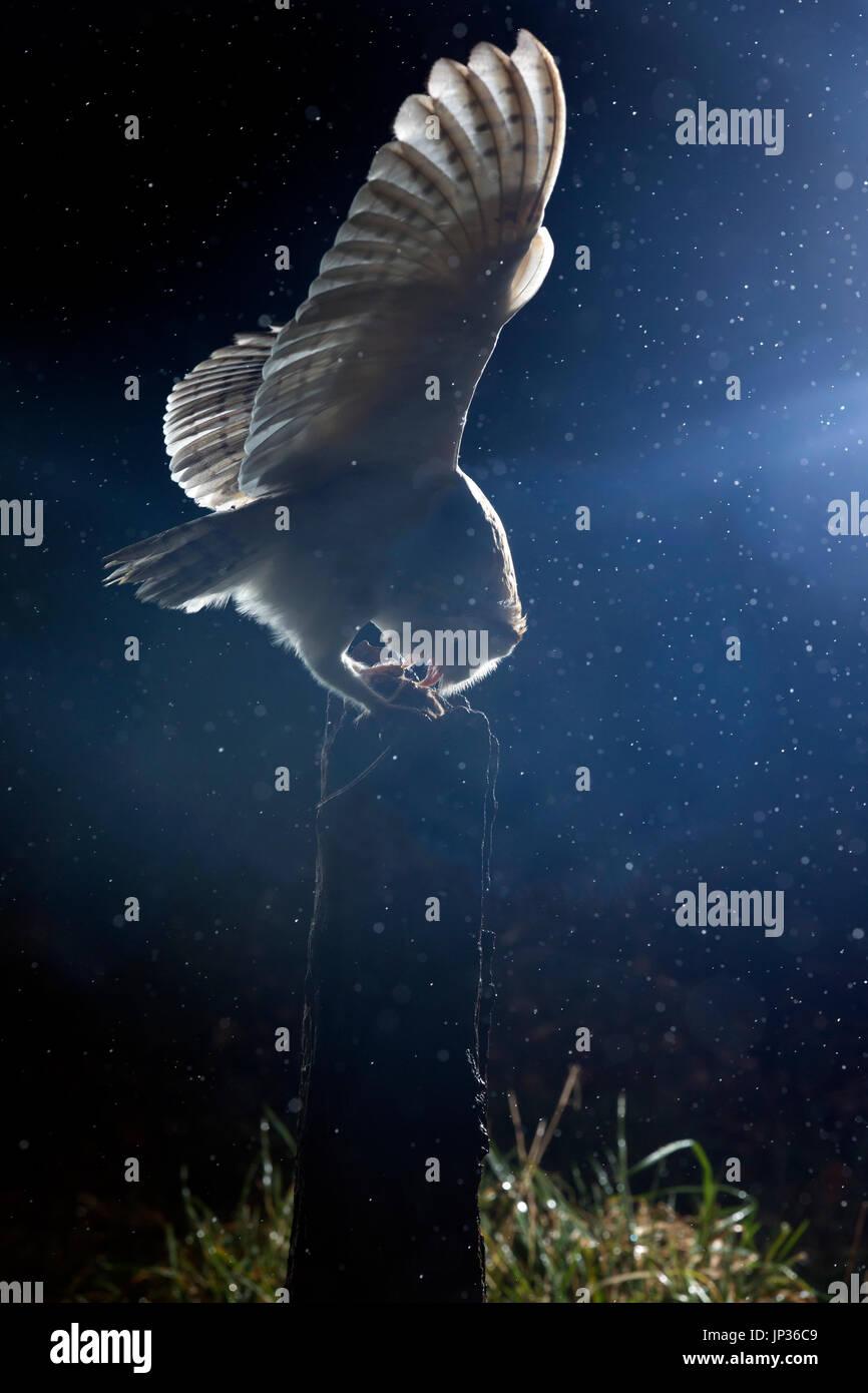 Schleiereule (Tyto Alba) in der Nacht während eines Regenschauers Stockbild