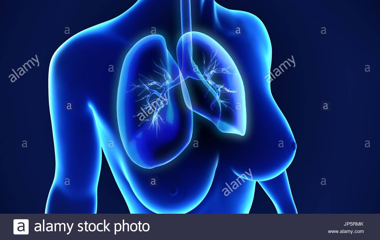 Gemütlich Menschliche Lunge Bilder - Physiologie Von Menschlichen ...
