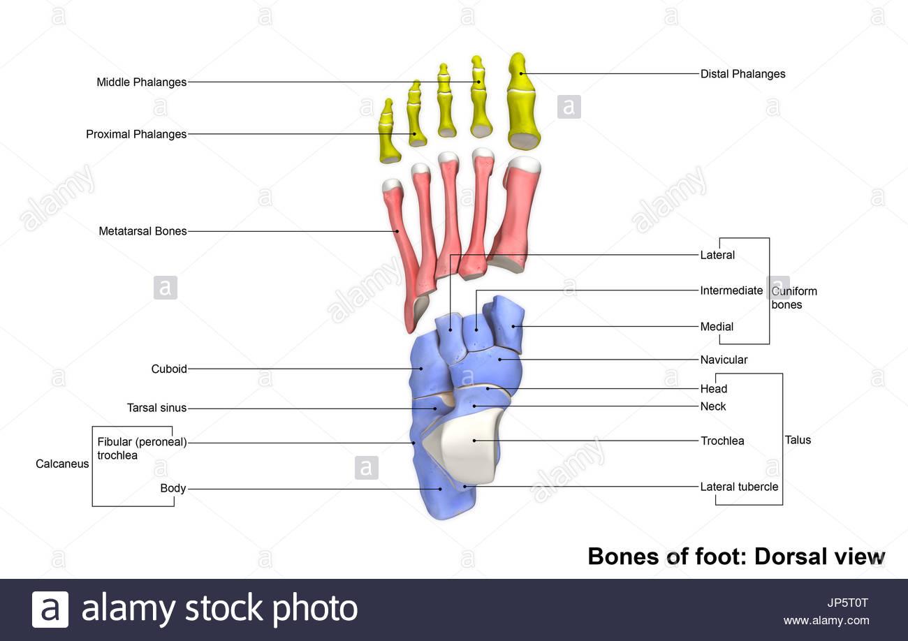 Talus Bones Stockfotos & Talus Bones Bilder - Alamy