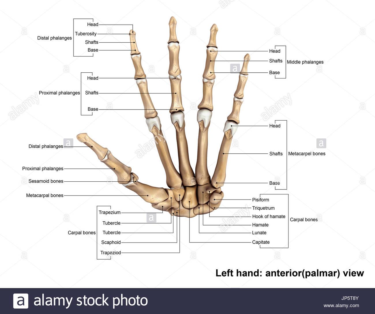 Niedlich Carpals Knochen Galerie - Anatomie Und Physiologie Knochen ...