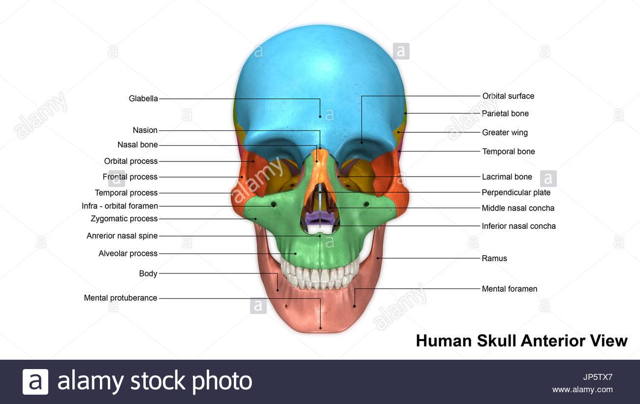 Ausgezeichnet Schädelanatomie Nähten Fotos - Anatomie Ideen ...