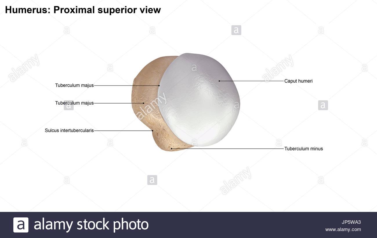 Menschliche Skelett Knochen Humerus Stockfoto, Bild: 151335019 - Alamy