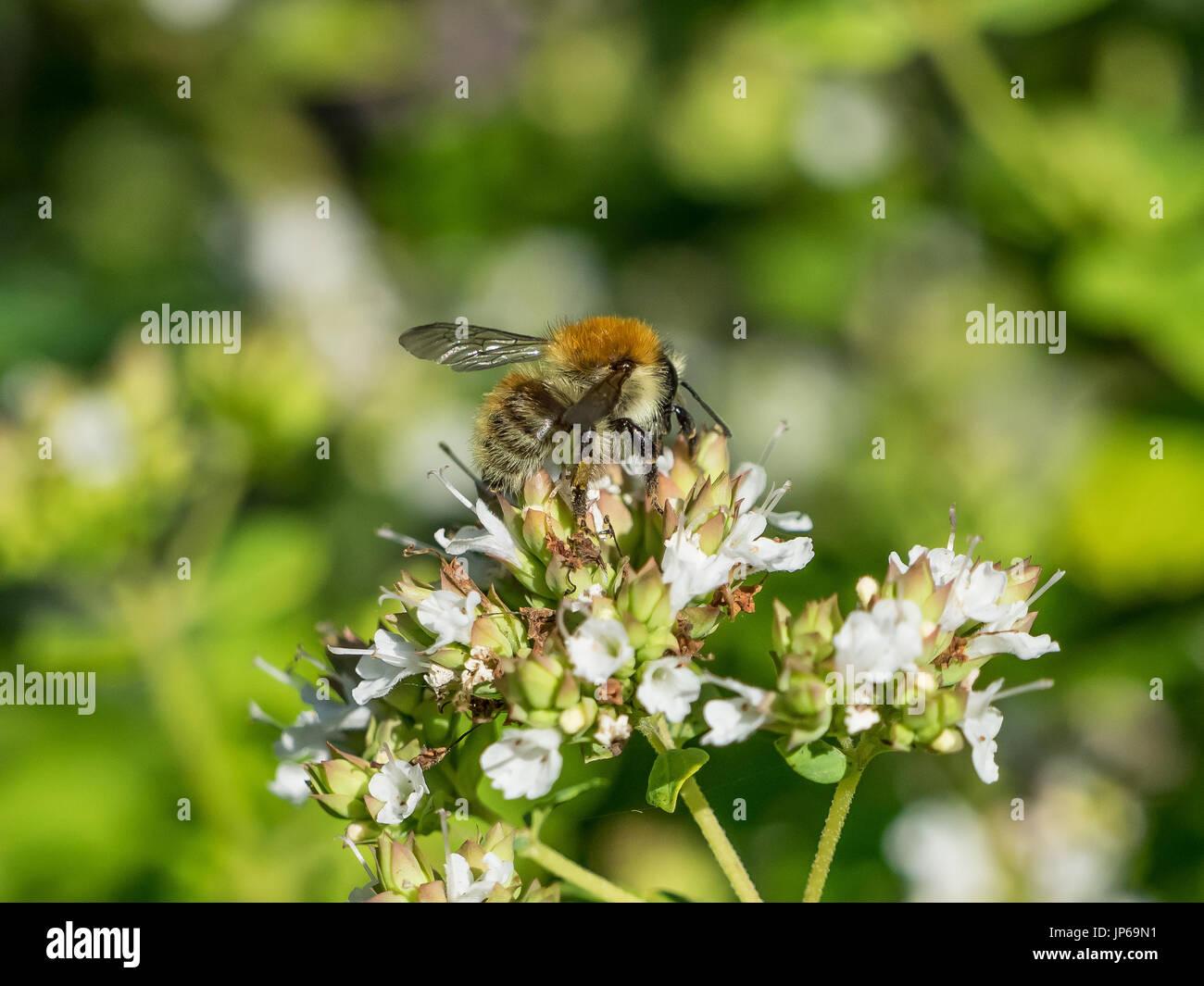 quality design 55ca1 2abf6 Gemeinsamen Karde Hummel (Bombus Pascuorum) auf weiße Blume ...