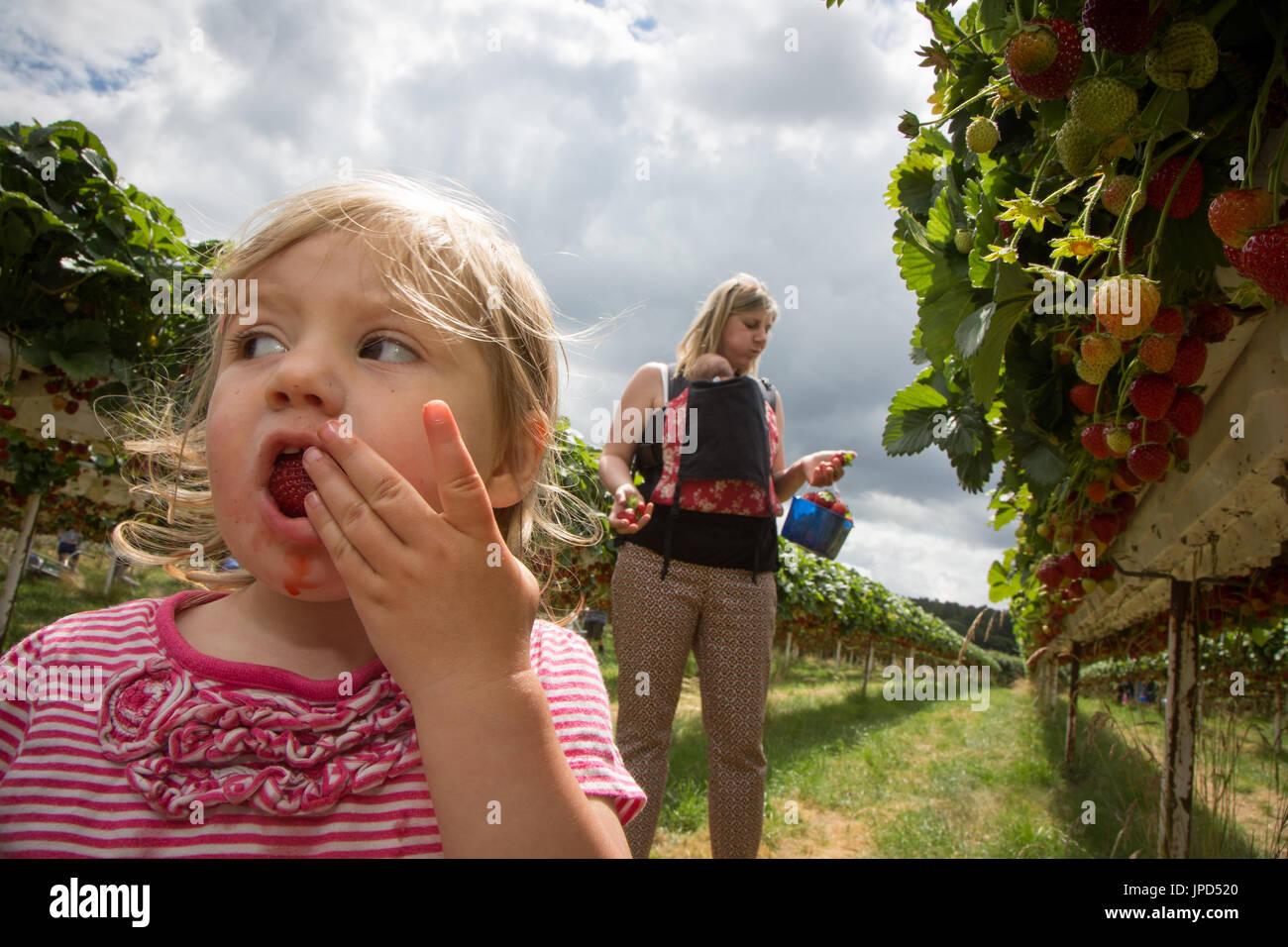 Ein Kleinkind Mädchen von 18 Monaten Essen Erdbeeren auf ein Pick-deine-eigene-Farm in England. Schwester Mutter und Baby sind im Hintergrund Stockbild