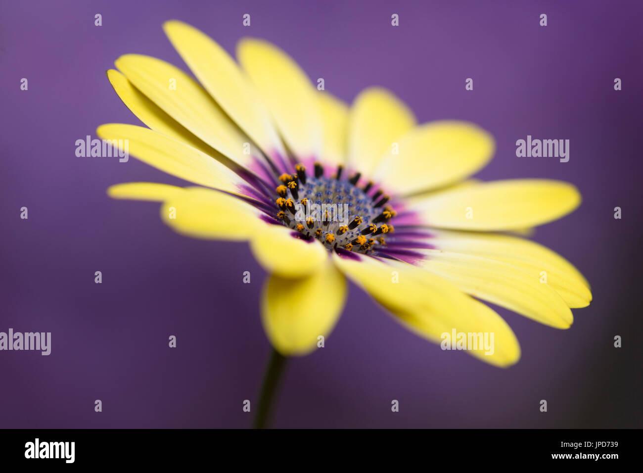 Osteospermum Serenity Blue Eyed Beauty Stockbild
