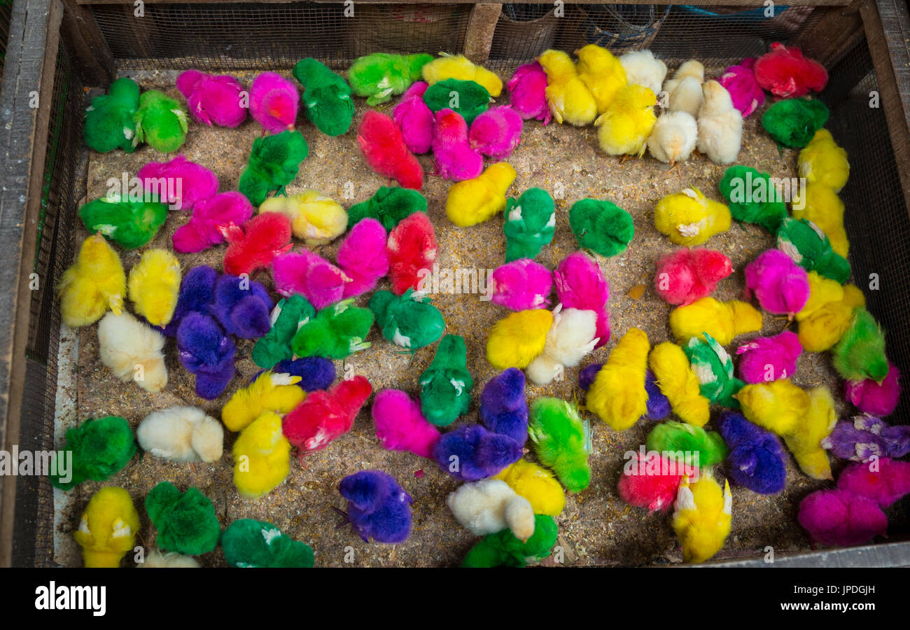 dyed chicks stockfotos und bilder kaufen  alamy