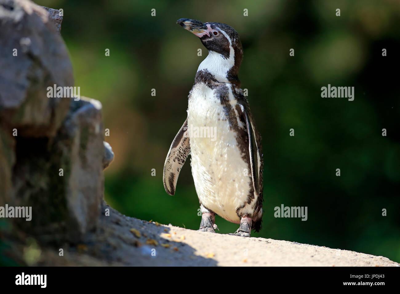 Humboldt-Pinguin (Spheniscus Humboldti), auf dem Land, auf Felsen, wachsam, Gefangenschaft, Südamerika Stockbild