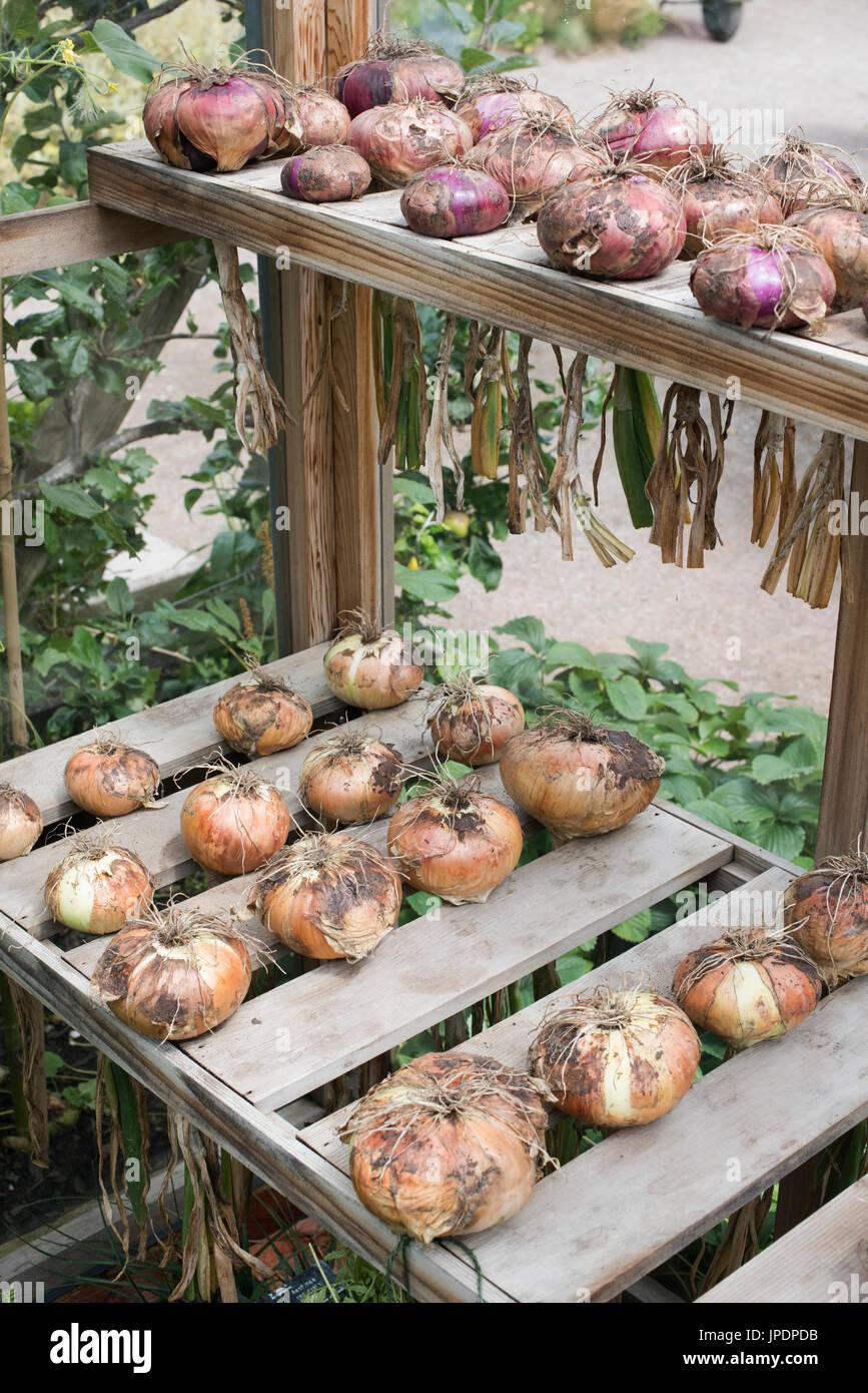 Allium Cepa. Geernteten Zwiebeln in einem Gewächshaus. UK Stockbild