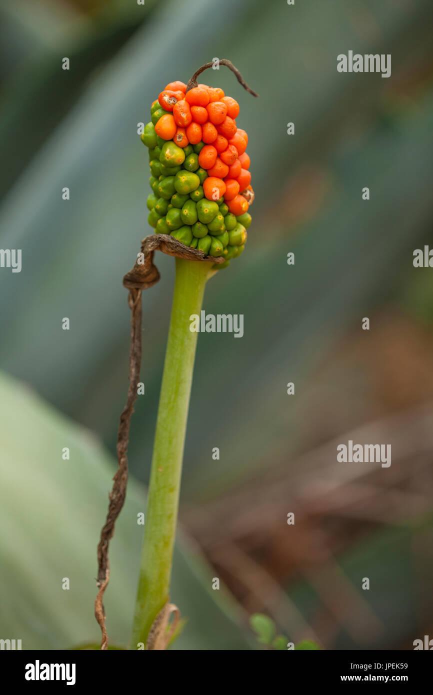 Flora von Gran Canaria - Dracunculus Canariensis, eines der bemerkenswertesten Endemiten der Kanaren, Stockbild