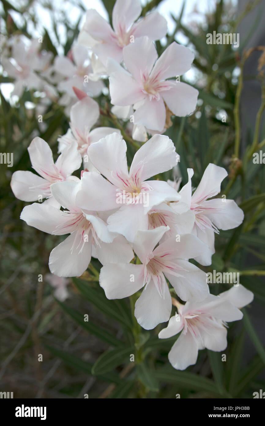 flowers nerium oleander greece stockfotos flowers nerium. Black Bedroom Furniture Sets. Home Design Ideas