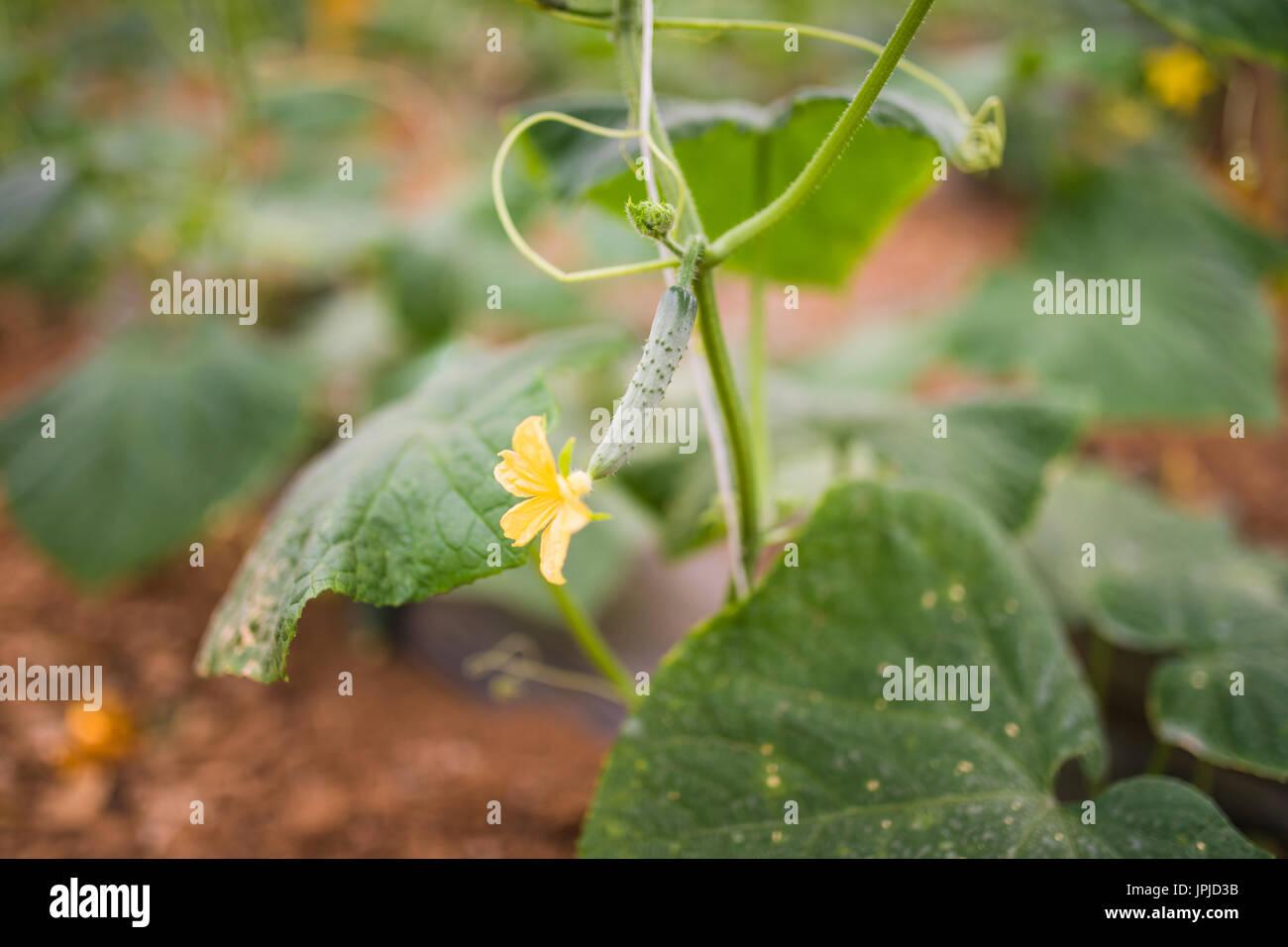 Gurken wachsen im Film Gewächshäuser. Das rasante Wachstum im Sommer Stockfoto