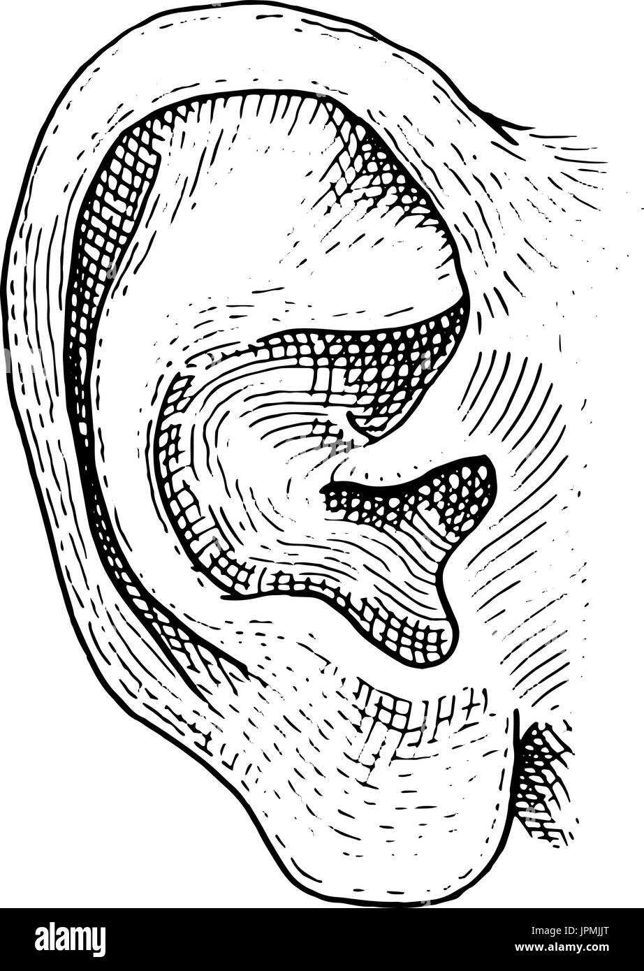 Humanbiologie, Orgel-Anatomie-Illustration. gravierte ...