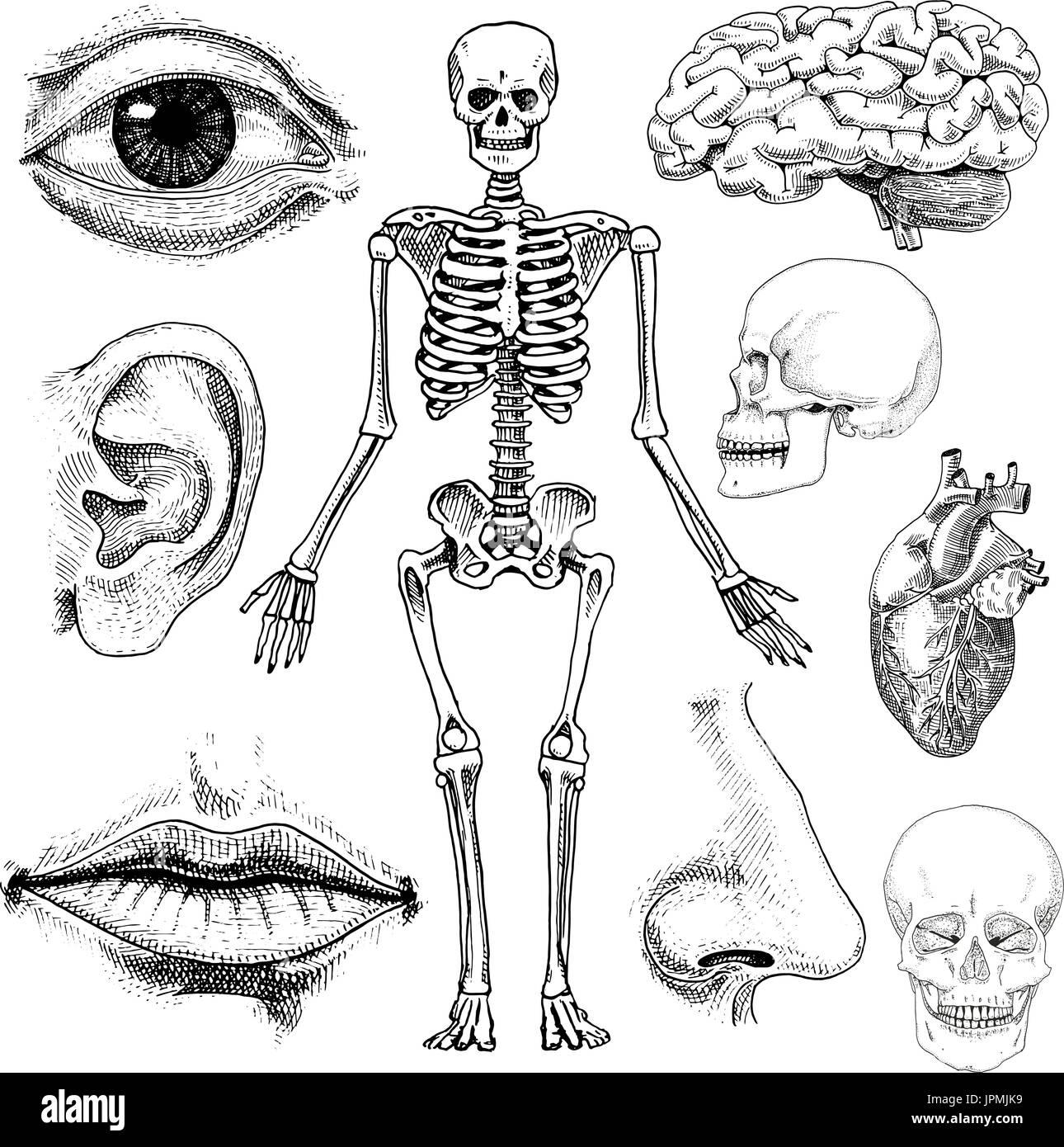 Niedlich Nase Knochen Anatomie Bilder - Menschliche Anatomie Bilder ...