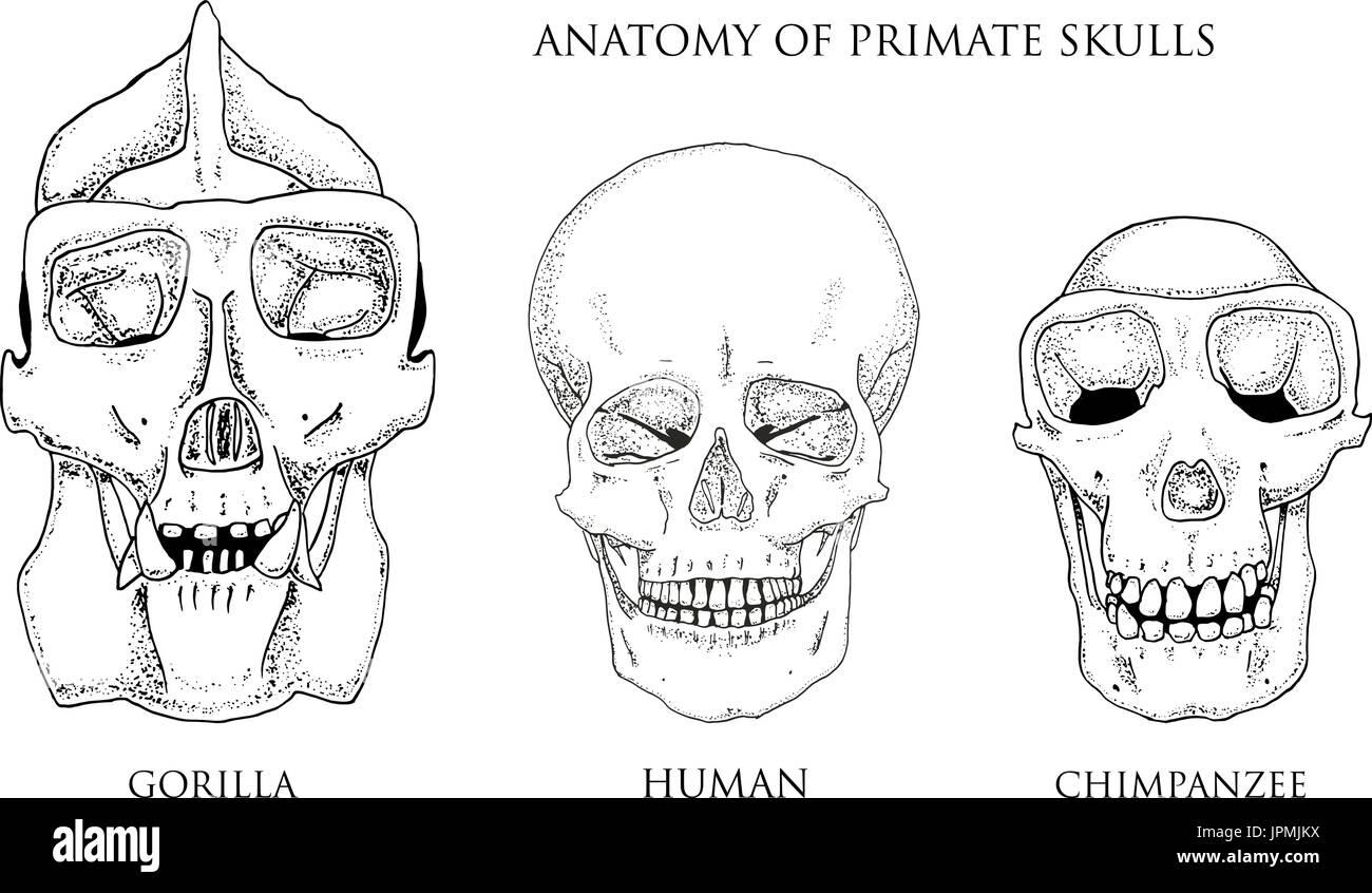 Beste Anatomie Schädel Und Gesichtsknochen Ideen - Menschliche ...