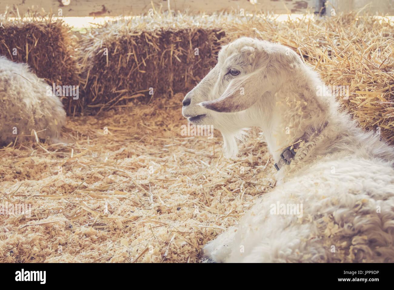 Schöne weiße Ziege mit luxuriösen Pelz entspannt unter Heuballen auf der Land-Messe in Vintage Gartenanlage Stockfoto