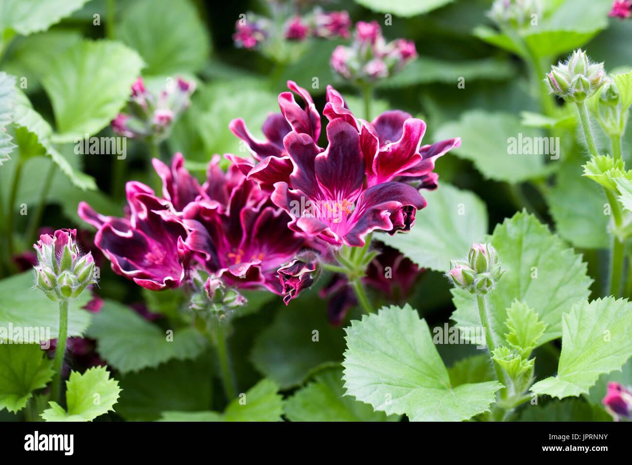 Pelargonium 'Lord Bute' Blumen. Stockbild