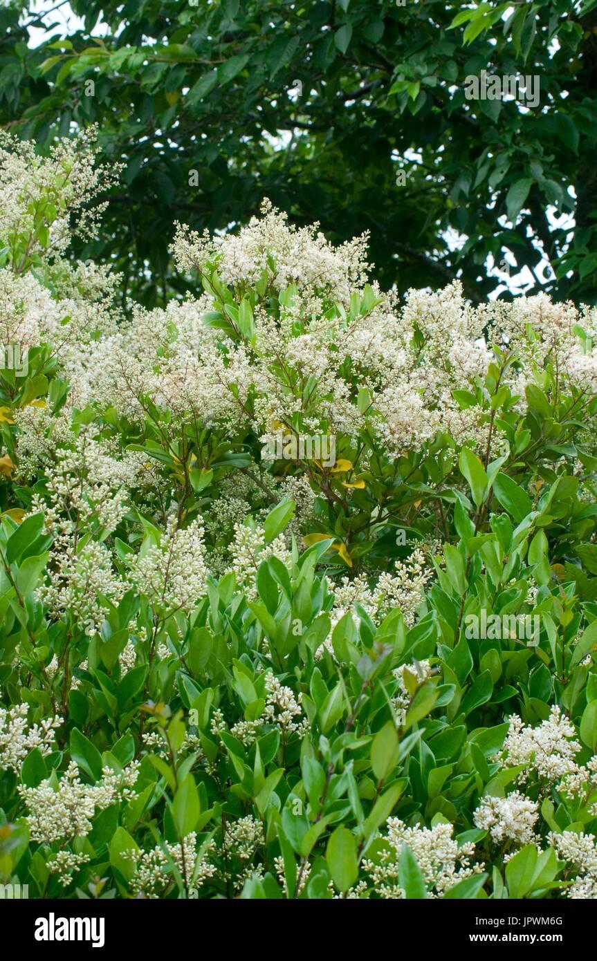 Lieblings Japanischer Liguster 'Texanum' in voller Blüte in einem Garten &YK_23