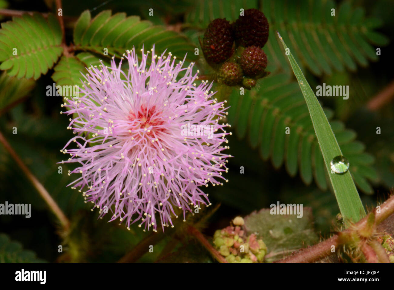 Scham Pflanze Blume - Neukaledonien Stockfoto, Bild: 151812438 - Alamy