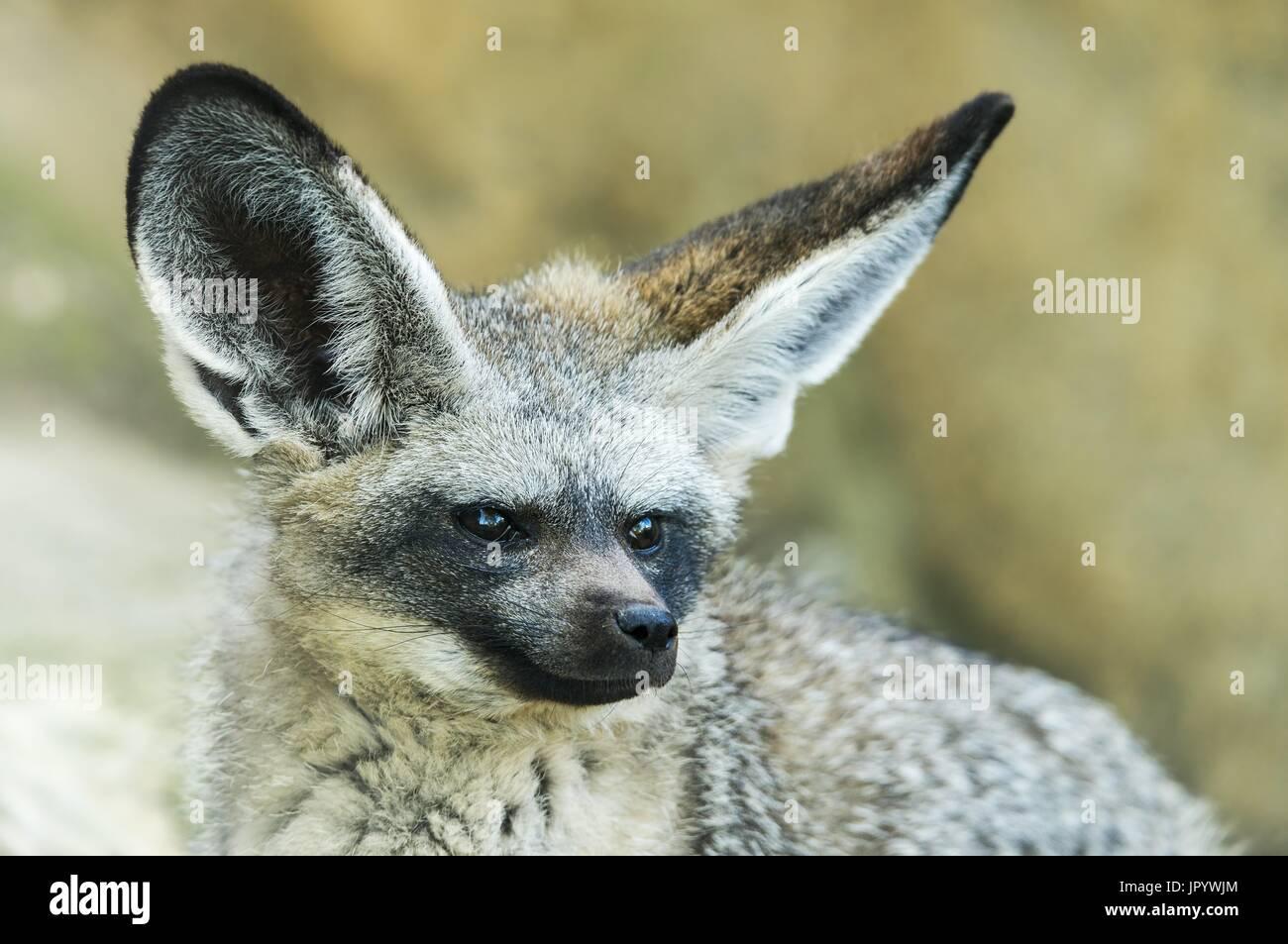 Portrait der Bat-eared Fox (Otocyon Megalotis) Stockbild