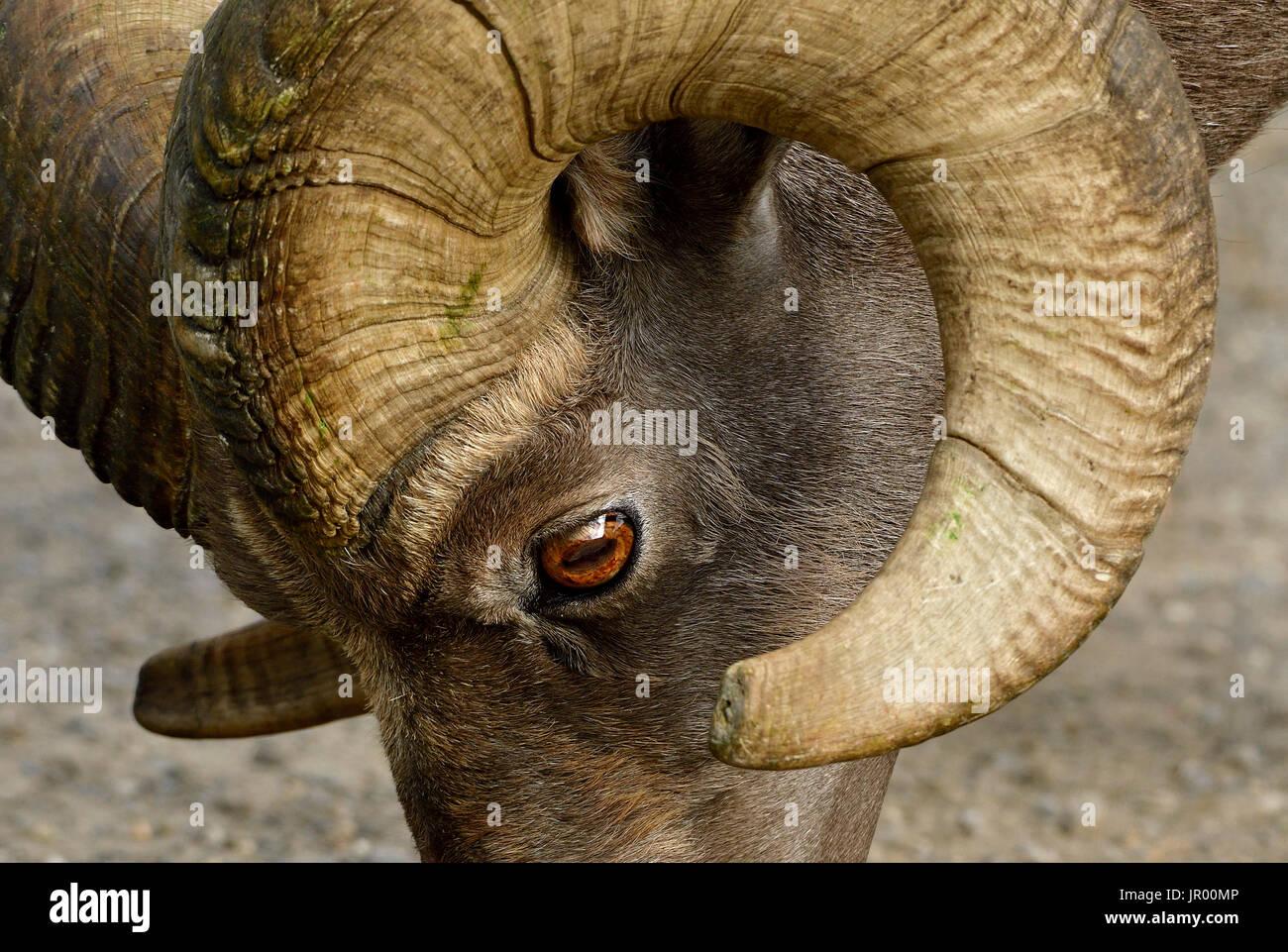 Eine Nahaufnahme der Seitenansicht eine wilde Dickhornschafe Gesicht zeigt das Auge und die Rotation des sein horn Stockbild