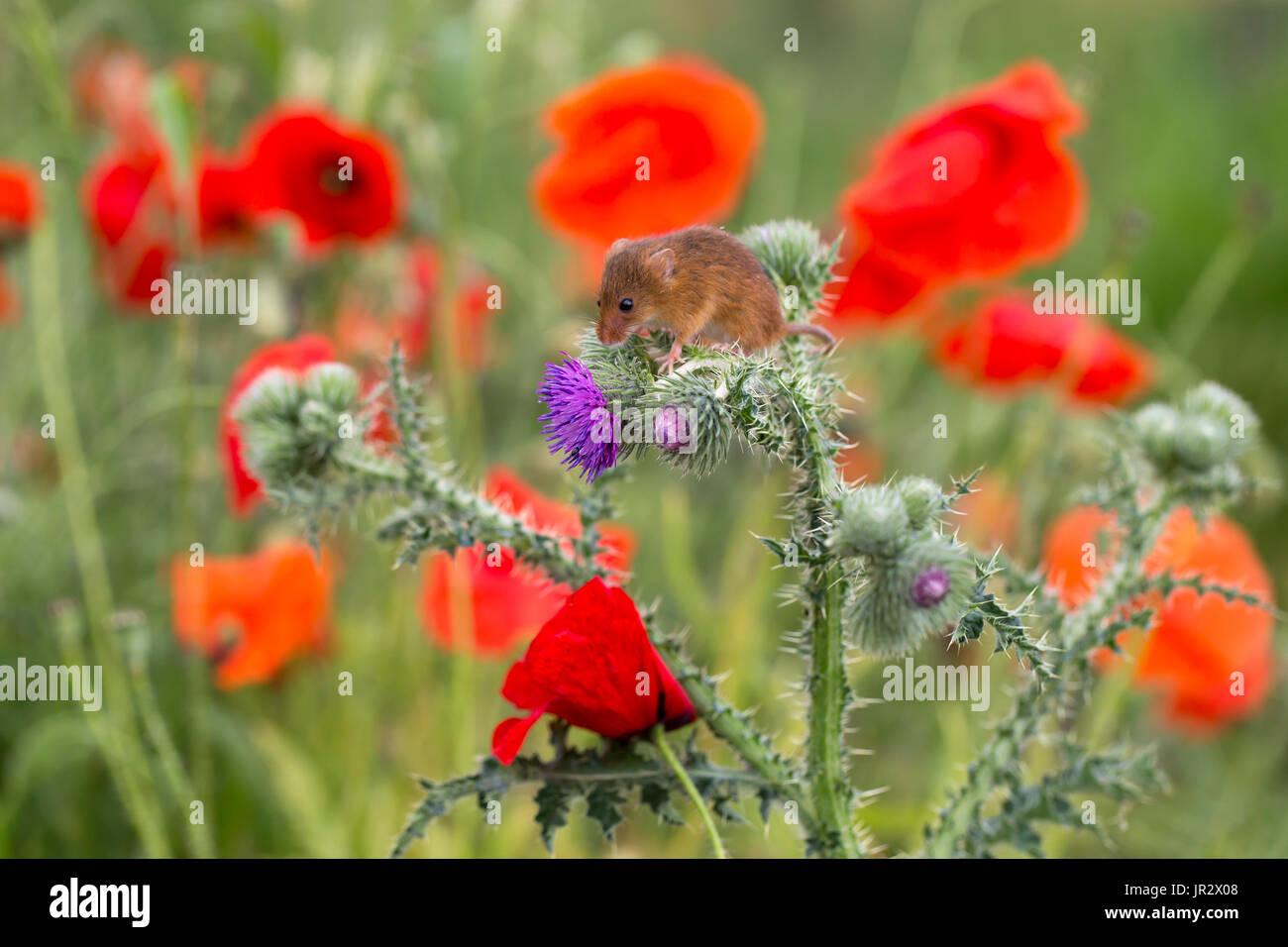 Maus zwischen wilden Blumen zu ernten, im Sommer - GB Stockfoto ...