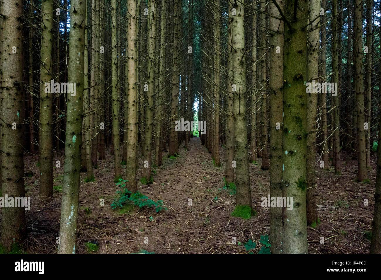 Top Fichten-Wald Monokultur, Bayern, Deutschland Stockfoto, Bild #LX_87