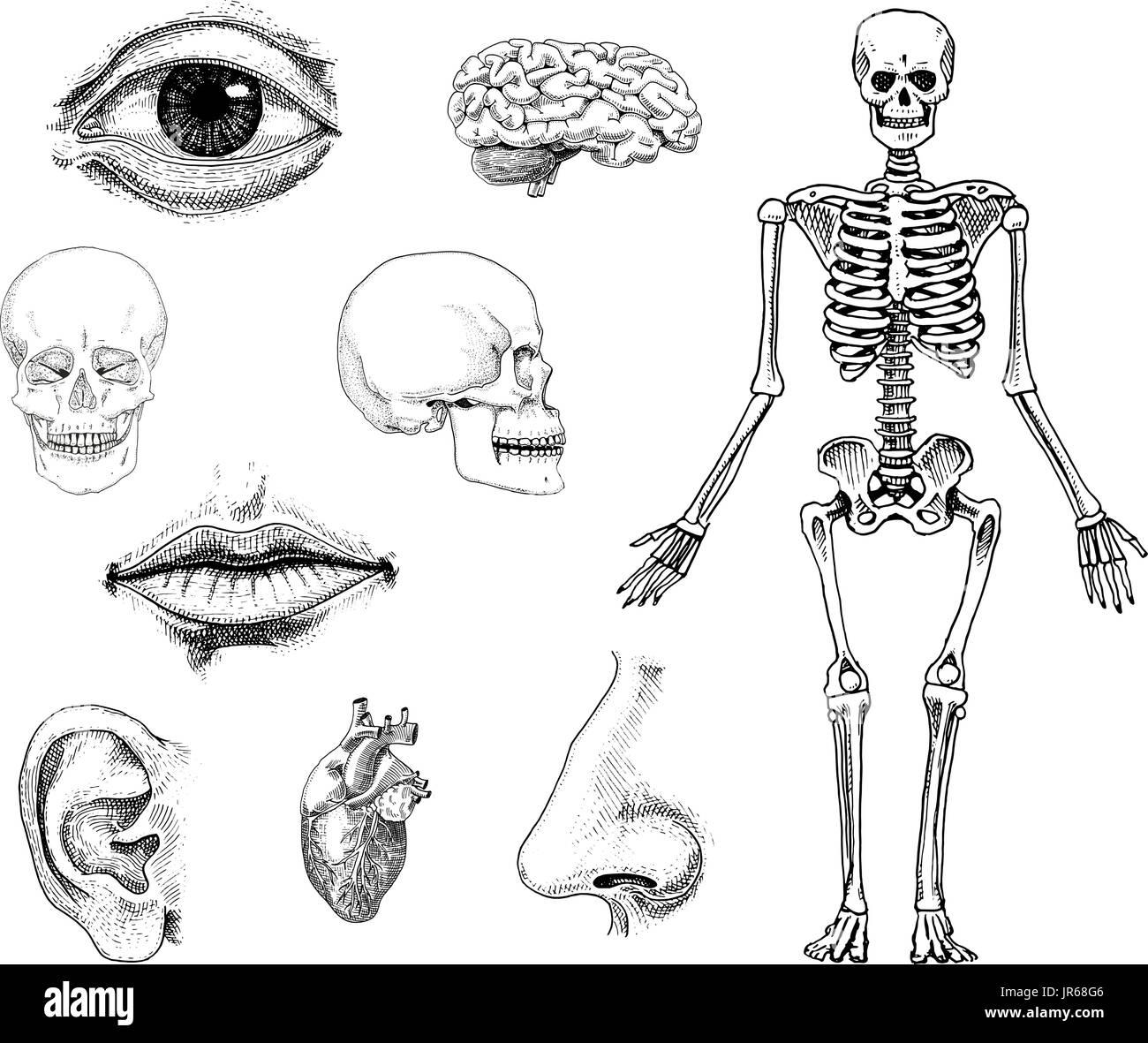 Beste Anatomie Des Körpers Knochen Galerie - Menschliche Anatomie ...