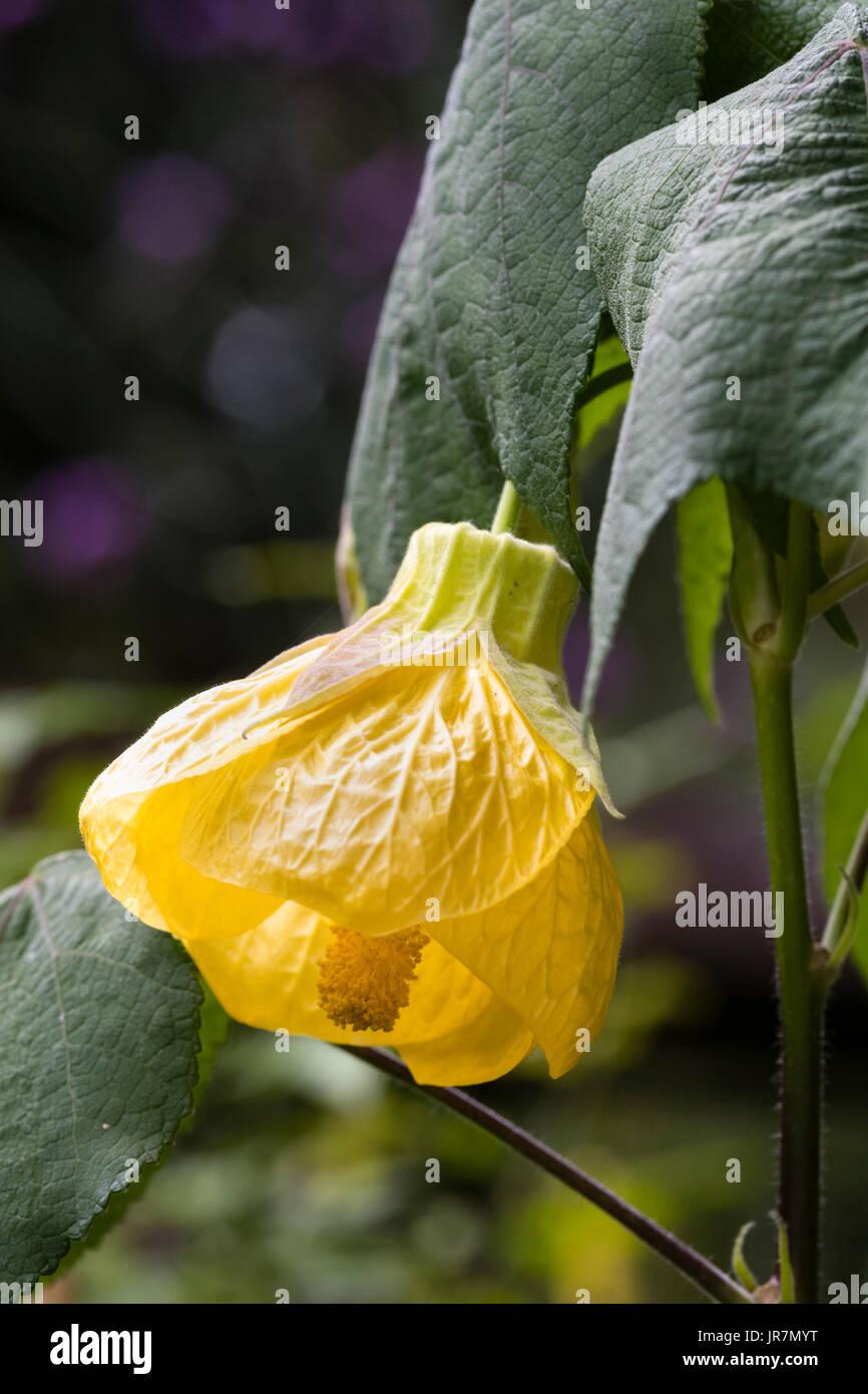 "Gelbe Glocke Blume Blüte lax Strauch, Frameworks ""Canary Bird"" Stockbild"
