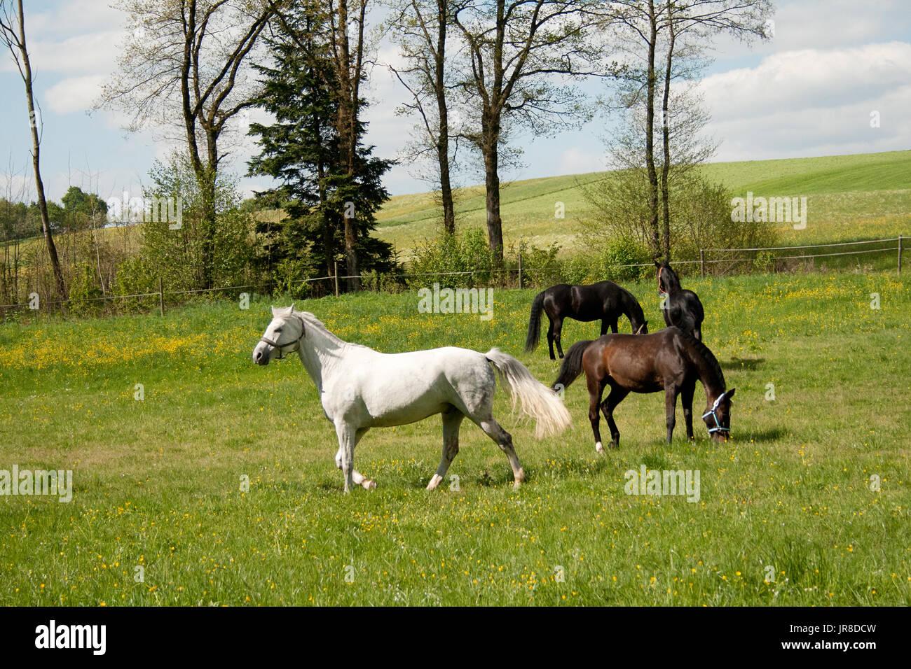 kostenlose Pferde grasen auf der Wiese mit vielen Blumen im Sommer. Herde von Pferden zusammen außerhalb Stockbild
