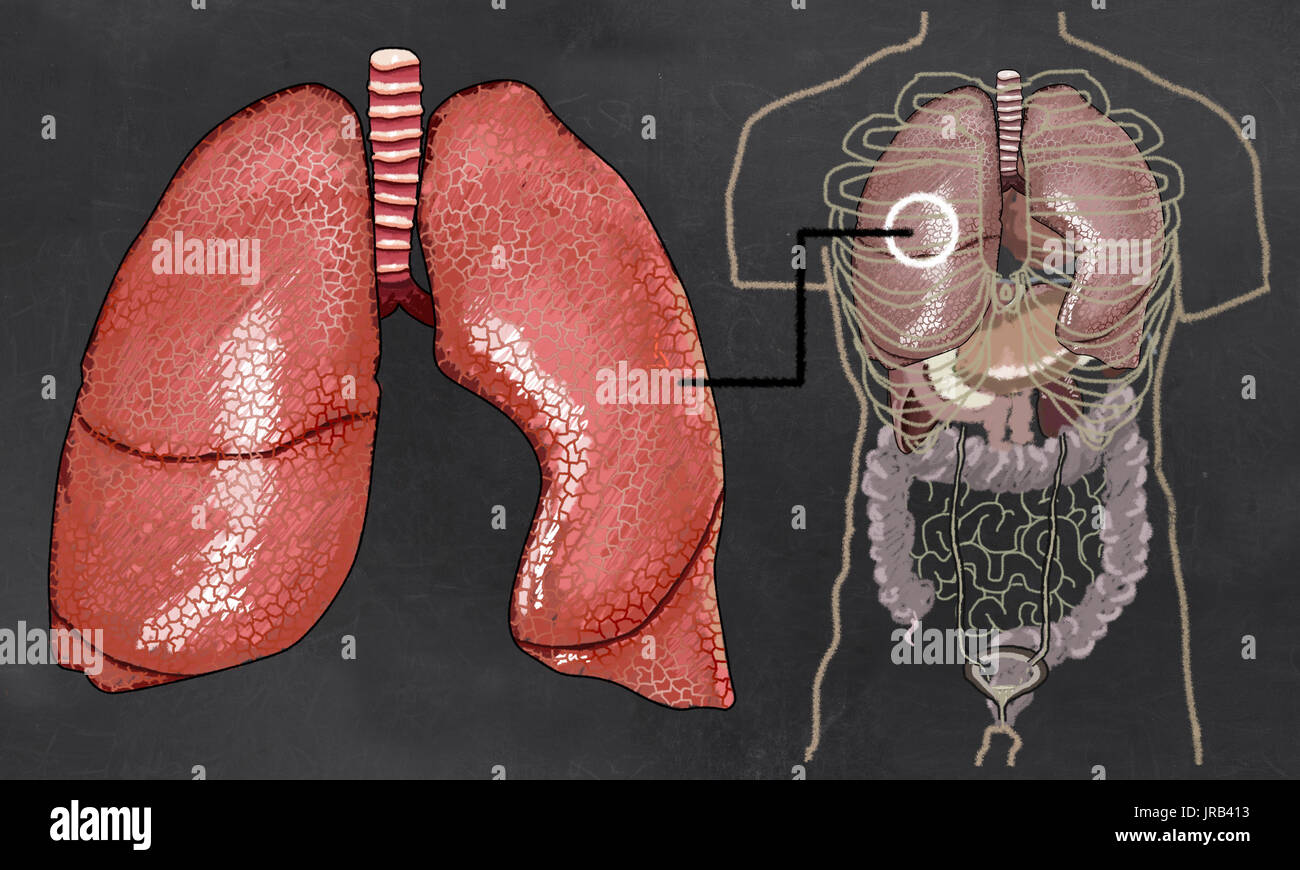 Lung Drawing Stockfotos & Lung Drawing Bilder - Alamy
