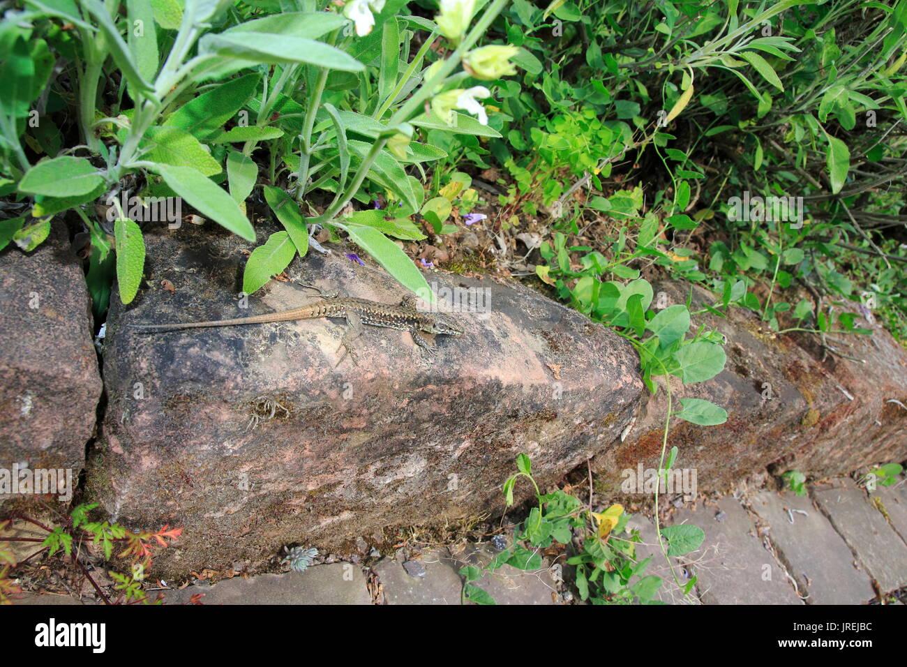 Ruineneidechse, Mauereidechse, Podarcis siculus Eidechse im Garten im Blumen Zuckerrüben Stockbild