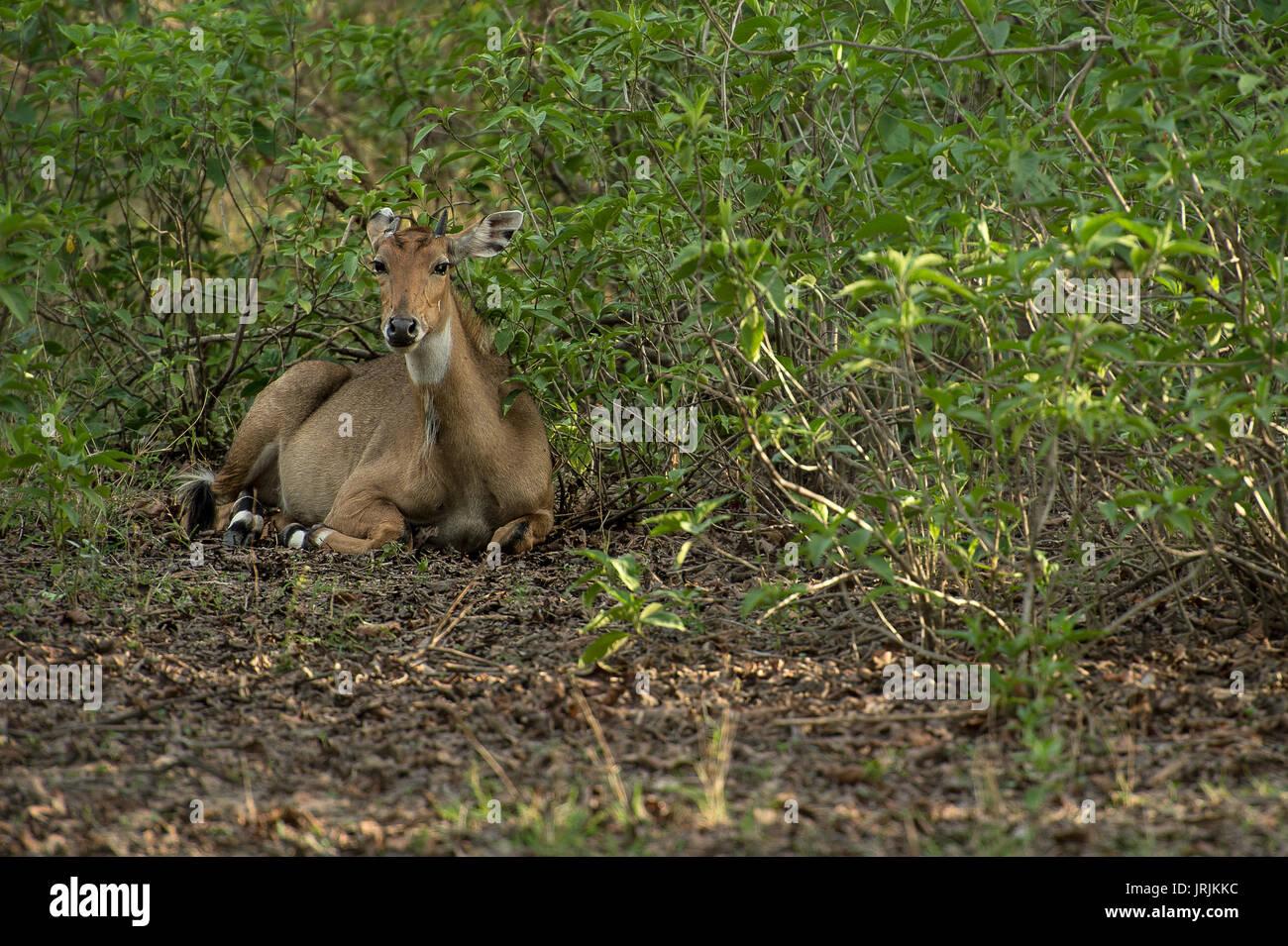 Sambar Hirsche, Rusa unicolor, Cervidae, Rajaji Nationalpark, Indien Stockbild