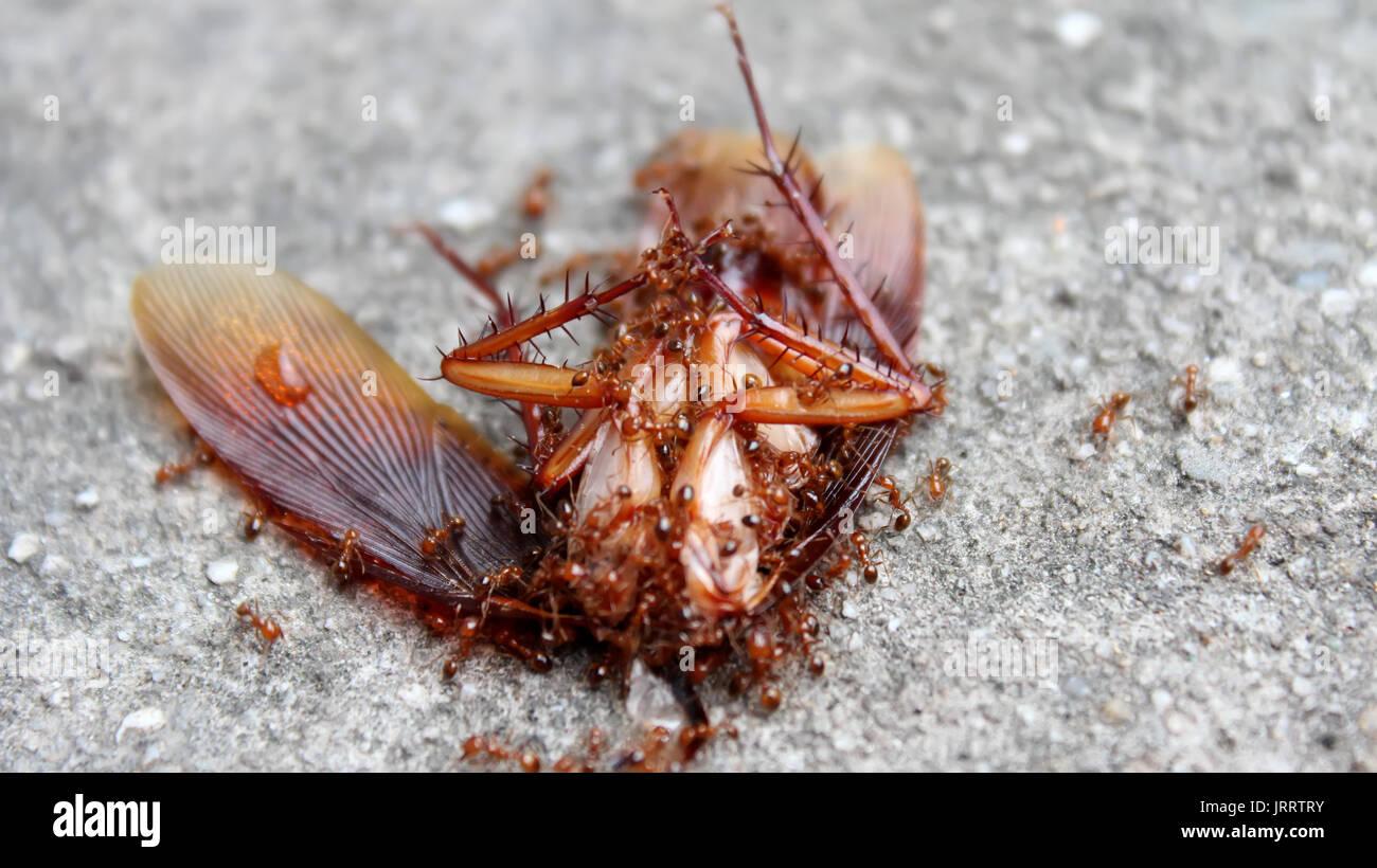 Was Essen Ameisen : ameisen essen totes insekt stockfoto bild 152344415 alamy ~ Watch28wear.com Haus und Dekorationen