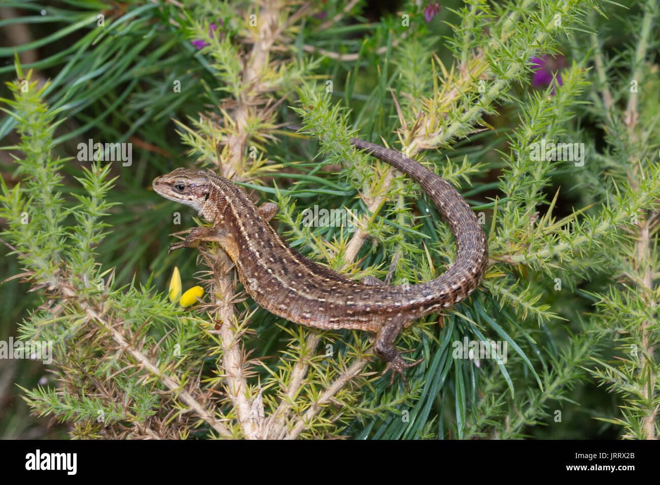 Gemeinsame Eidechse, auch als Vivipar Lizard (Zootoca Vivipara) Sonnenbaden auf den ginster Bush in Surrey, Großbritannien Stockfoto