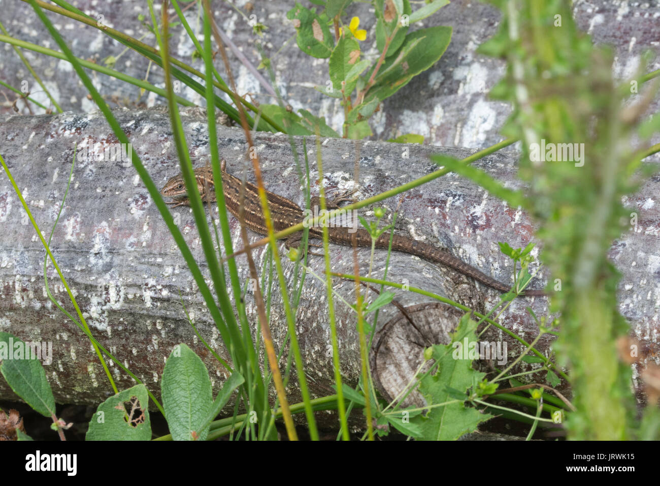 Gemeinsame Eidechse, auch als Vivipar Lizard (Zootoca Vivipara) Aalen auf einem Haufen anmelden Stockfoto